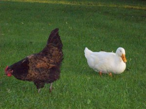Unholy alliance of duck and chicken