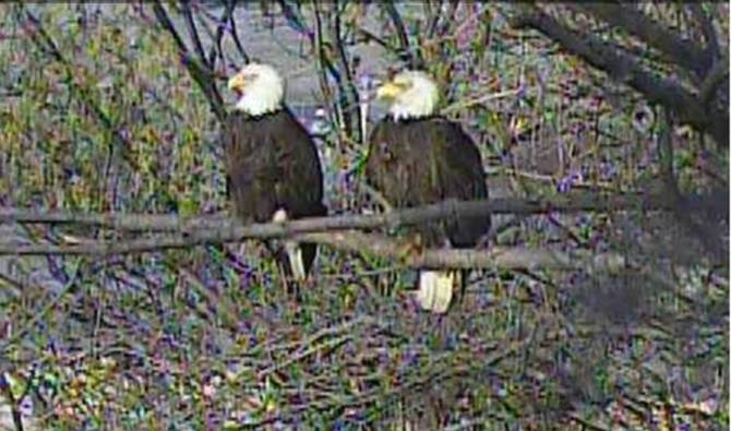 The Bald Eagles at Hays