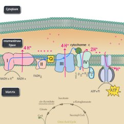 Electron Transport Chain Diagram For Dummies Vz Crewman Wiring The Steps Simplified Dbriers Com