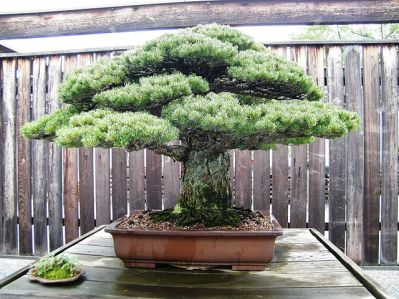 Photo of bonsai tree