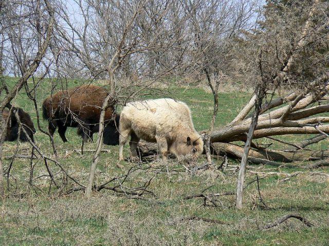 Rare White Buffalo Death Confirmed