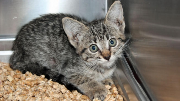 """This 7-month-old kitten was named """"Fender-Lynx"""" after it survived a pit bull attack and a 25-mile car ride and was found inside the fender of a Dodge minivan."""