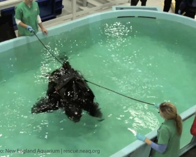 655-Pound Sea Turtle Rescued, Set Free