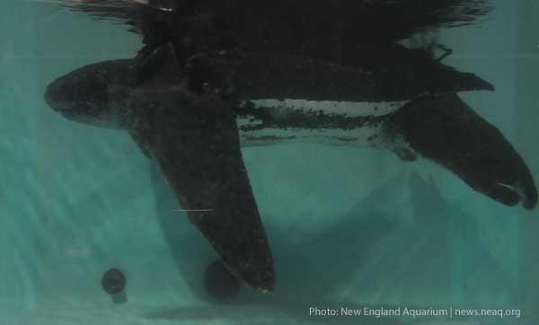 655-Pound Sea Turtle Rescued, Set Free (Courtesy New England Aquarium)