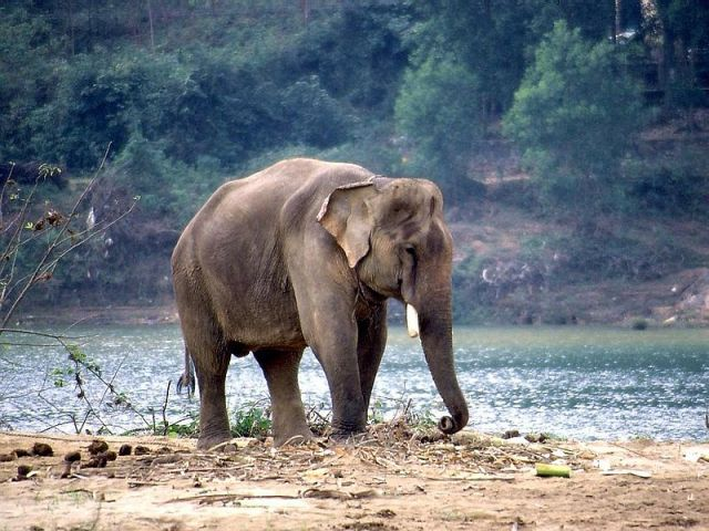 Obese Elephants In India Put On Diet |Source = Thomas Schoch at http://www.retas.de/thomas/travel/vietnam2004/index.html