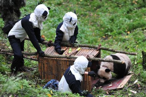 Panda Camoflauge Prepares Animals For Wild Say Researchers