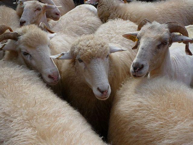2,000 Sheep Led Through Streets of Madrid