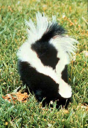 Girl Mistaken For Skunk Shot: Was Wearing Halloween Costume