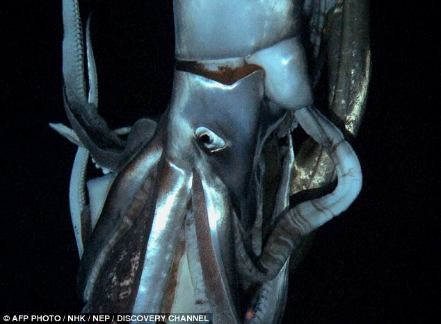 Scientists Film Elusive Video Of Giant Squid