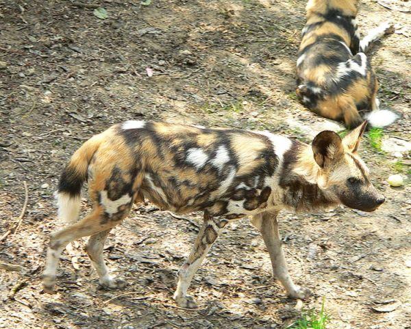 Wild dogs kill 4 In Mexico