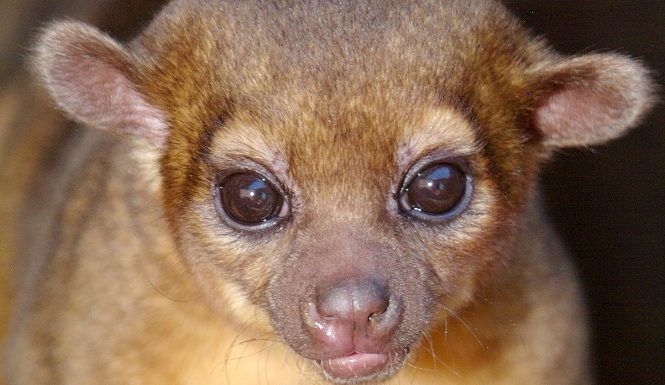 Kinkajou captured in Texas