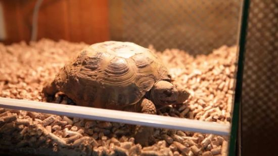 A man got the shock of his life after unearthing his Mediterranean tortoise with a digger ten months after he went missing, surviving one of the coldest winters on record. Courtesy of SWNS TV.