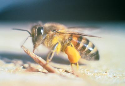 """Africanized honey bees, known colloquially as """"killer bees,"""" are some hybrid varieties of the Western honey bee species, (Apis mellifera), produced originally by cross-breeding of the African honey bee A. m. scutellata, with various European honey bees such as the Italian bee A. m. ligustica and the Iberian bee A. m. iberiensis. The hybrid bees are far more defensive than any of the various European subspecies. Small swarms of Africanized bees are capable of taking over European honey bee hives by invading the hive and establishing their own queen after killing the European queen."""