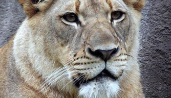 White lion Cost $138,000: Incredibly Expensive Pets - dBTechno