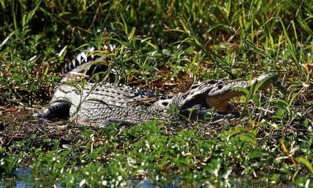 Human Remains Crocodile:  Man Snatched From Boat By Crocodile