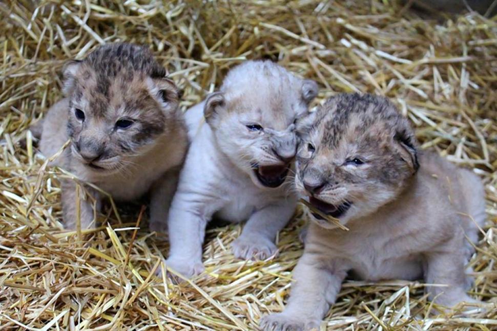 Rare White Lion Cub Born in Nebraska Zoo