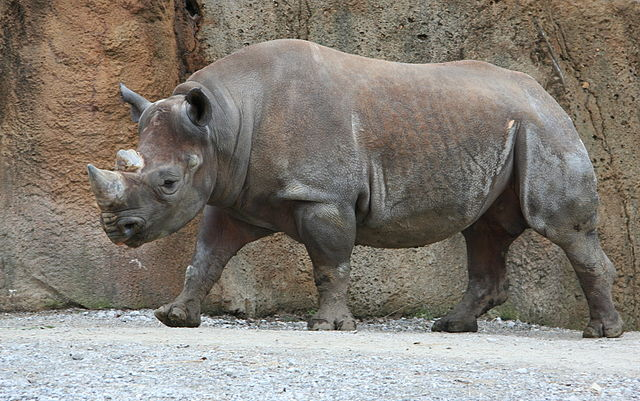 Jonathunder - Own work Male Diceros bicornis (Black rhinoceros or Hook-lipped rhinoceros) at the Saint Louis Zoological Park in Missouri