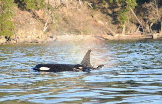 Endangered Orca Pod Gets Ray of Hope in Birth of New Calf