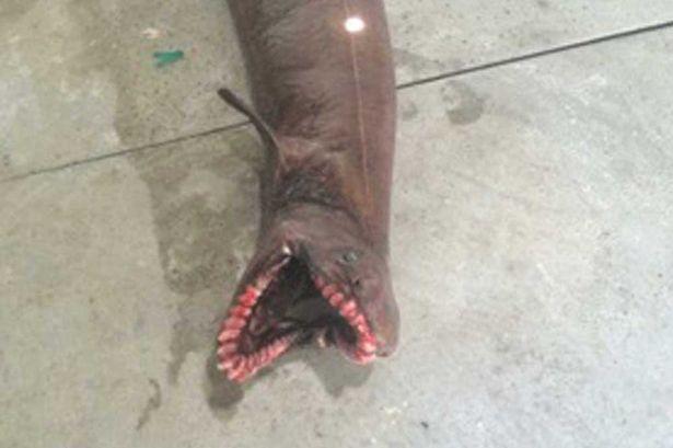 Frilled shark captured 22