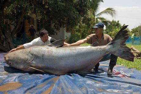 Giant Catfish May Be World's Largest Freshwater Fish
