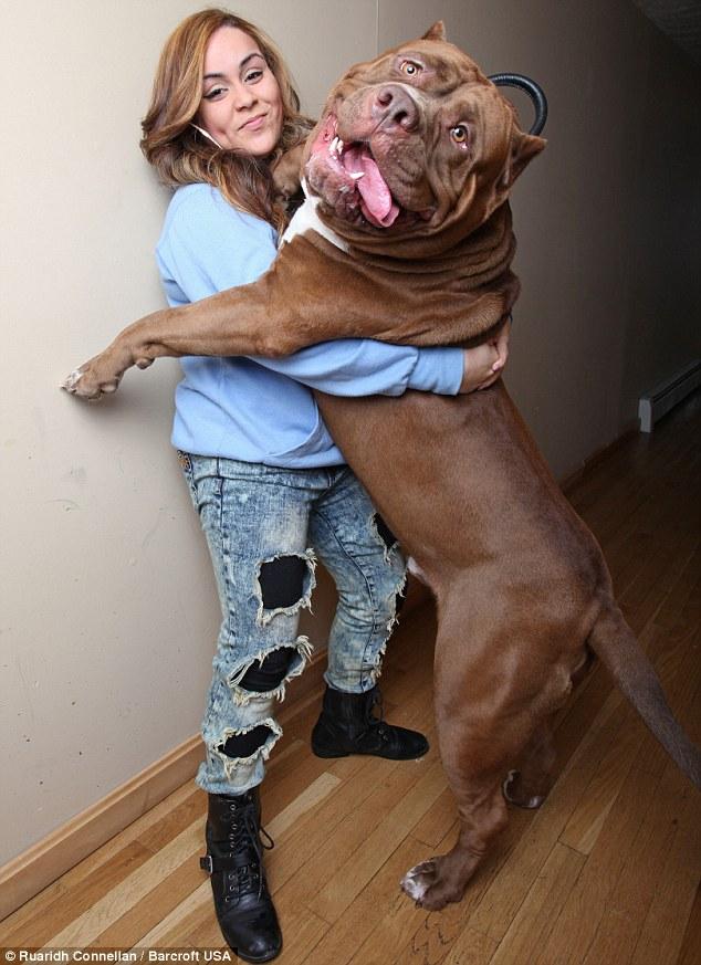 Give us a hug: Hulk is just as tall as his handler Frances Cummings