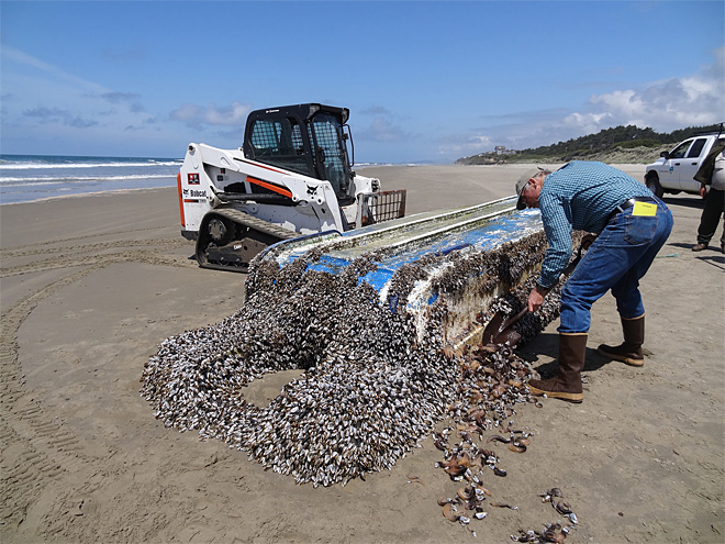 John Chapman of OSU's Hatfield Marine Science Center examines a mussel-encrusted boat from the Japanese tsunami that washed up in Lincoln County.