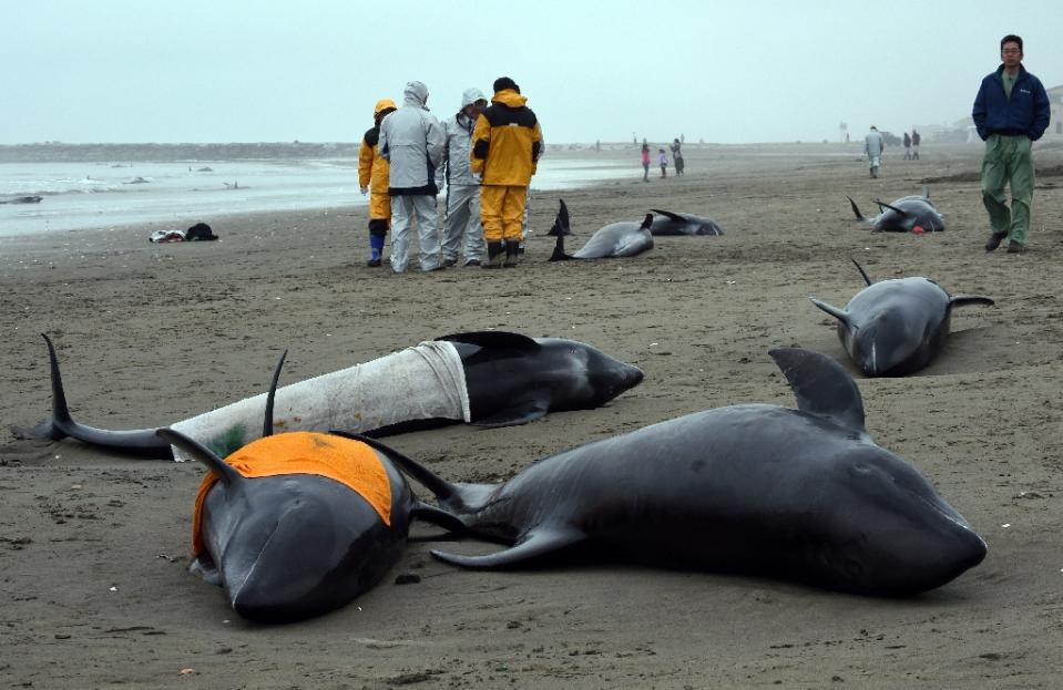 Residents attempt to save melon-headed whales beached on the shore of Hokota city, northeast of Tokyo on April 10, 2015 (AFP Photo/Toshifumi Kitamura)