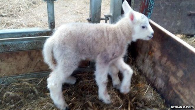 Five-legged lamb born 1