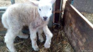 "Farmer Bethan Davies described Jake the five-legged lamb as ""really happy"""