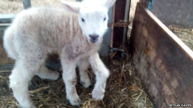 "Farmer Bethan Davies described Jake the five-legged lamb as ""really happy"""