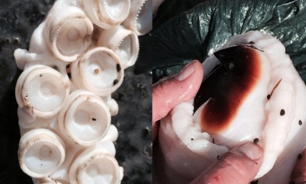 Giant Squid Washed-up On Shore in New Zealand (PHOTO)
