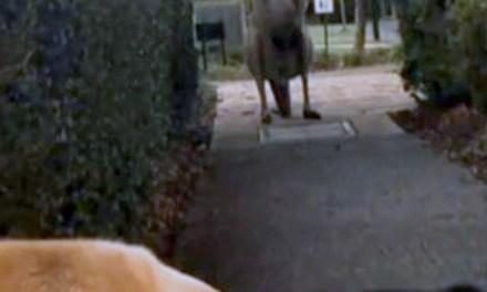 kangaroo With Big Pecs Is Apparently Intimidating People