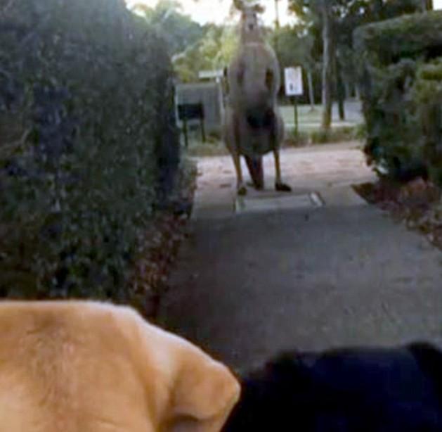 kangaroo Big Pecs Is Apparently Intimidating People