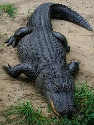 Alligator Kills Suspect: Gator kills suspected burglar