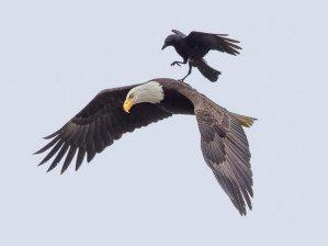 crow on eagle