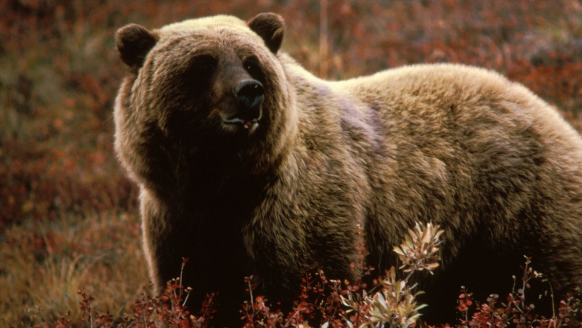 Yellowstone grizzly put down after eating hiker,  Cubs To Be Relocated