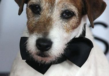 Uggie The Dog Dies After Developing a Prostate Tumor (PHOTO)