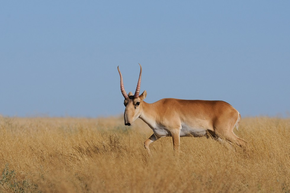 60,000 antelopes died:  Scientists Scramble To Find Answers