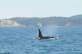 Whales in Columbia River 2