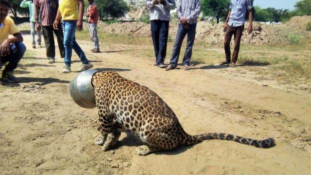 Leopard head stuck pot 1