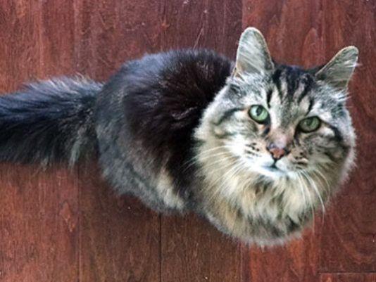 Corduroy oldest cat