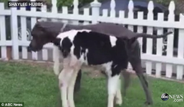 Goliath The Cow:  Filed Under Adorable