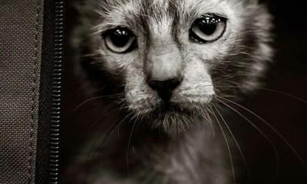 Lykoi The Warewolf Cat Goes Viral (PHOTO)