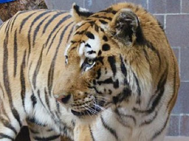 One of the captive tigers at Omaha's Henry Doorly Zoo and Aquarium. Picture: Henry Doorly Zoo and AquariumSource:Supplied