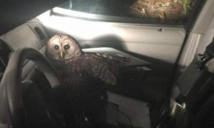 Owl attacks patrol car in Louisiana