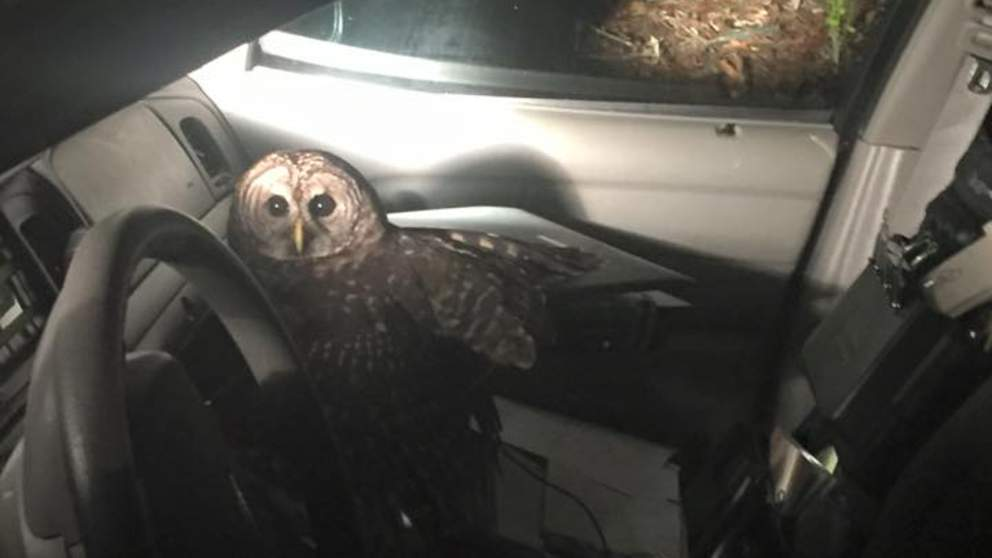Owl attacks patrol car (VIDEO)