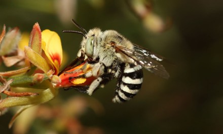 Bees Bang Heads 350 Times Per Second To Get Pollen
