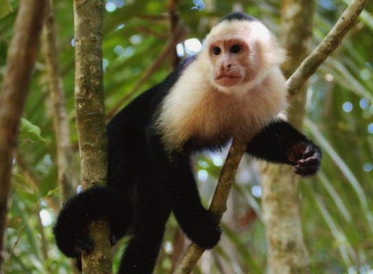 The capuchin monkeys (/ˈkæpjʊtʃɪn/ or /ˈkæpjʊʃɪn/) are New World monkeys of the subfamily Cebinae. Prior to 2011, the subfamily contained only a single genus, Cebus. However, in 2011, it was proposed that the capuchin monkeys should be split between the gracile capuchins in the genus Cebus and the robust capuchins in the genus Sapajus. The range of capuchin monkeys includes Central America and South America as far south as northern Argentina.