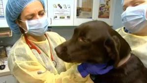 dog flu in 26 states