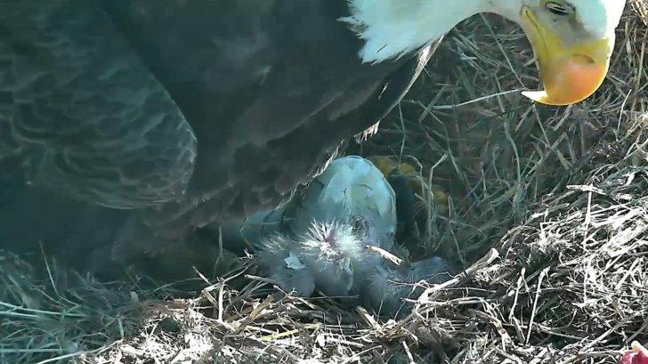 Eaglet hatched eagle cam